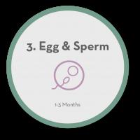 3 Egg & Sperm
